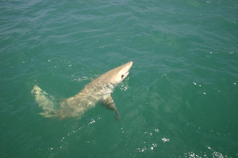 Fish key west florida as seen on espn key west shark for Key west florida fishing